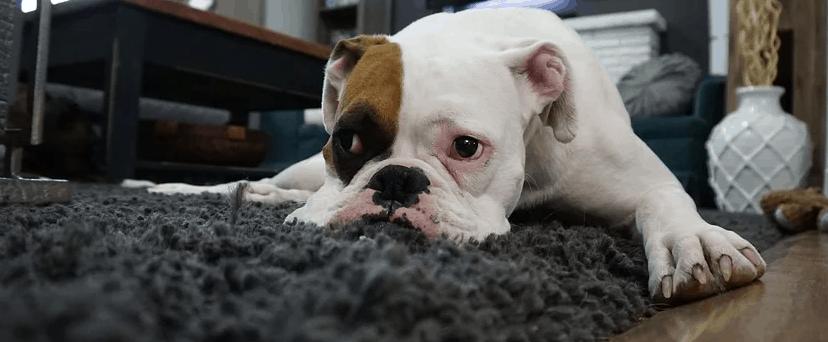 Dog on carpet in Murphy, TX